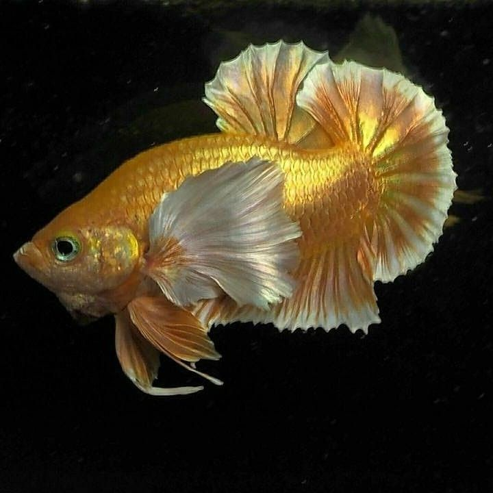 Betta Splendens On Instagram Wooow Awesome Colour Super Gold Big Ear Hmpk Show Photographer Unknown Don T Forget To Follow Ikan Akuarium Ikan Cupang Ikan