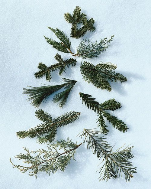 White Fir Christmas Tree: Left To Right, Starting At The Top: 1) Balsam Fir . 2