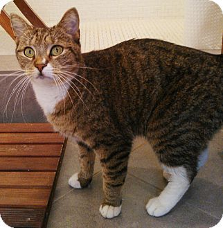 Brown Tabby Domestic Shorthair Cat Domestic Shorthair Cat For Adoption In Brooklyn New York Green Eyed Tabby Cat Kitten Adoption Cat Adoption