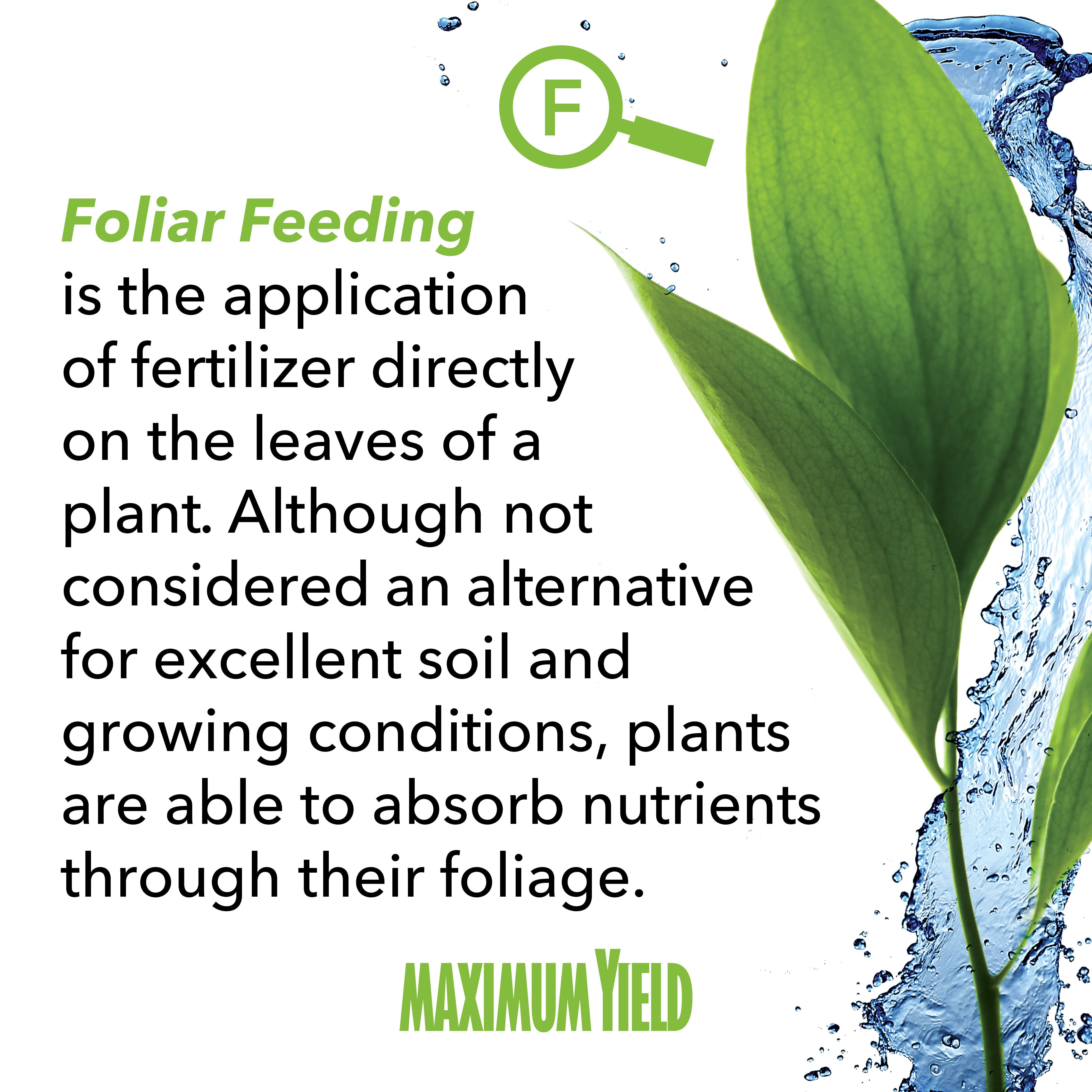 What Does Foliar Feeding Mean Is The Lication Of Fertilizer Directly On Leaves A Plant Although Not Considered An Alternative For