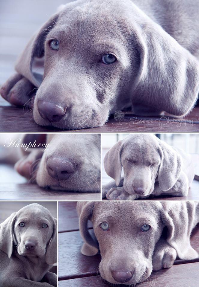 My Puppy Weimaraner Pet Photography By Taryn Www Facebook Com Essencephotography Com Au Weimaraner Puppies Dog Love Pets