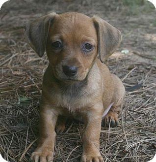 Holly Springs Nc Chihuahua Dachshund Mix Meet Cabo A Puppy