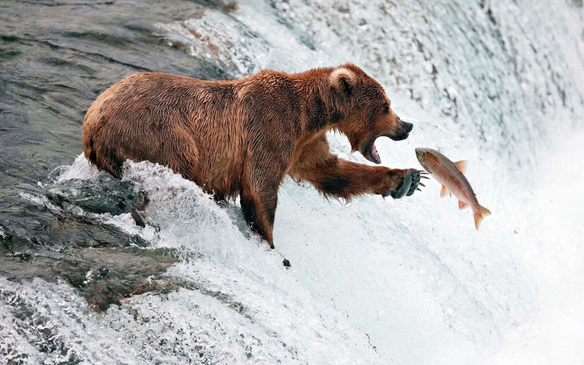 Bear Wallpaper, river, stream, fish, fishing HD