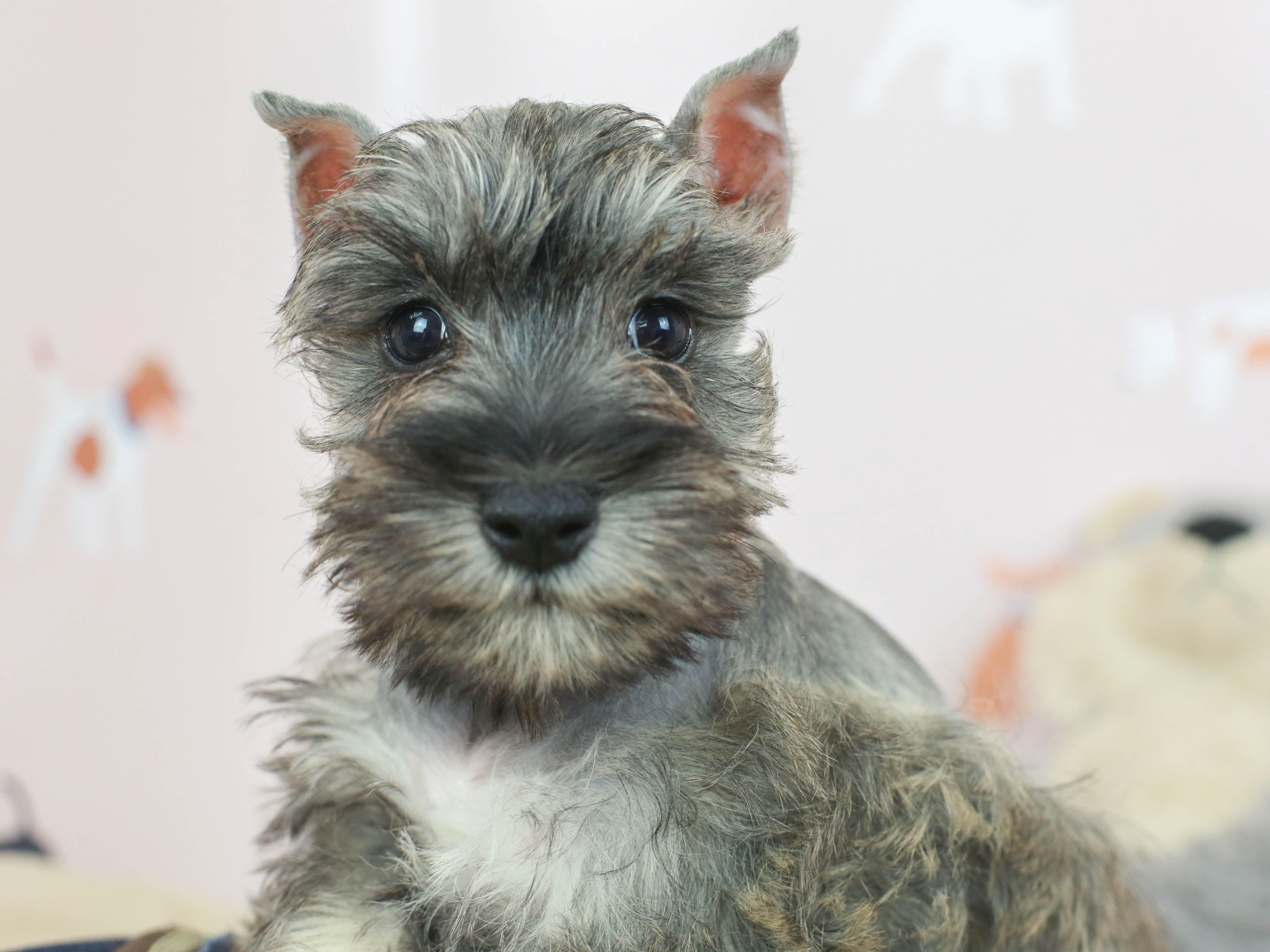 Miniature Schnauzer Breeders Schnauzer Puppies For Sale In Houston Texas With Images Schnauzer Puppy Puppies For Sale Miniature Schnauzer Puppies