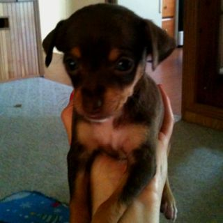 Halle Toy Rat Terrier For Sale Free To Good Home No Shots