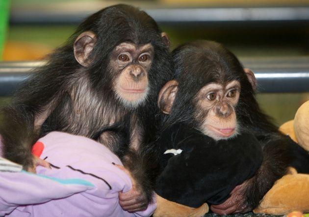 Baby chimpanzees