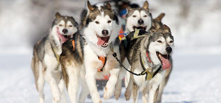Disfrutar con el trineo con perros husky en un viaje a laponia