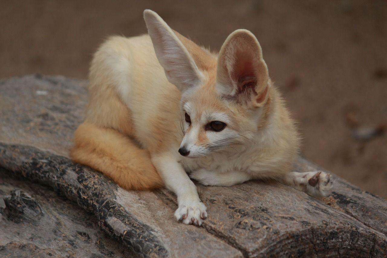 Pin P Fox