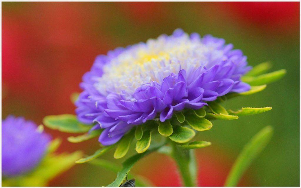 Aster Flower Wallpaper Aster Flower Hd Wallpaper Aster Flower Wallpaper Aster Flower Wallpaper Free Download