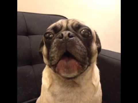 Pug Saying I Ruv You Best Vines Youtube Dog Behavior I Love