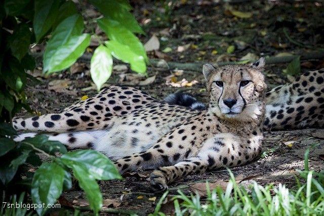 صور فهد أجمل صور حيوان النمر مع بعض المعلومات عنه Cheetah Pictures Big Cats Cats