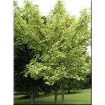 Acer pseudoplatanus Simon Louis Freres - Klon jawor Simon Louis Freres