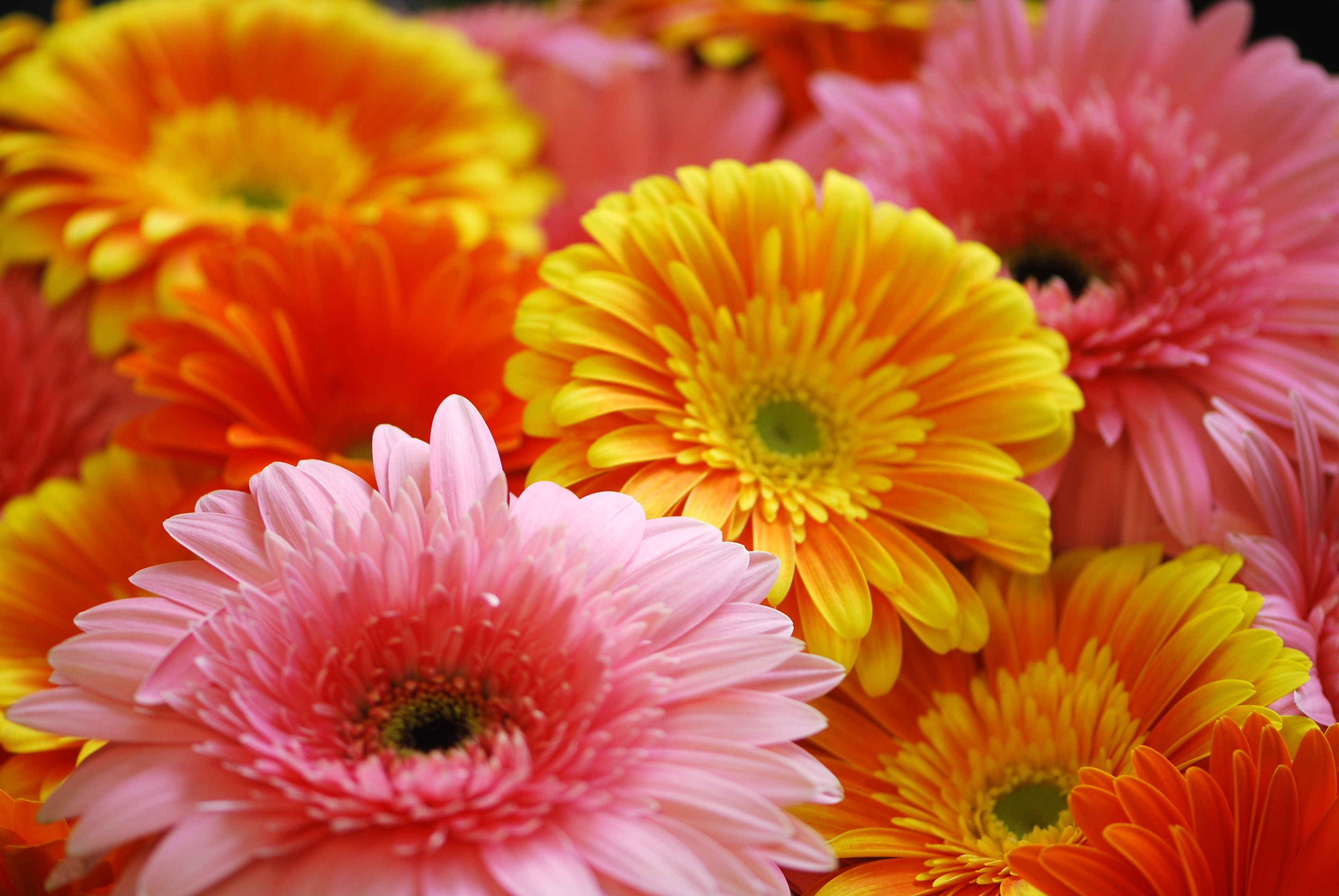 Lovely Picture Of These Gerbera Daisies Gerbera Daisy Gerbera Flower Meanings