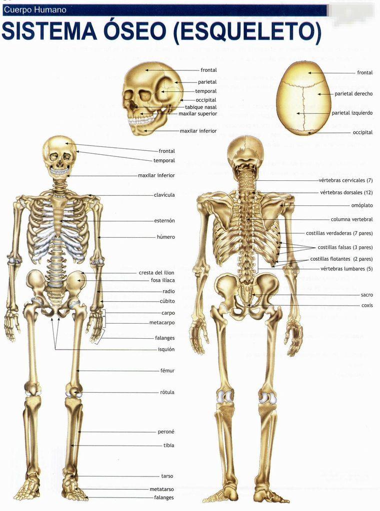 45 Imagenes A Todo Color Para Recortes Ossos Do Corpo Anatomia