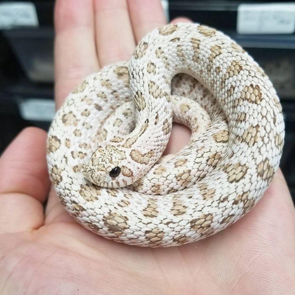 10 More Western Hognose Morphs Reptileworldfacts Pet Snake Hognose Snake Cute Reptiles