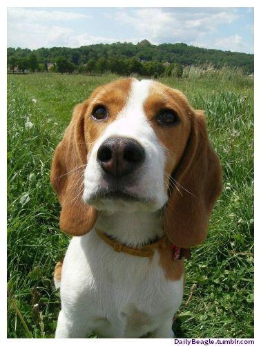 Beagle 3 Cute Beagles Cute Dog Pictures Beagle