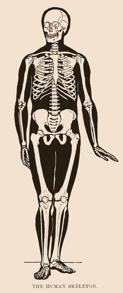 vintage human skeleton drawing from 1898 with a bit of sass. the, Skeleton