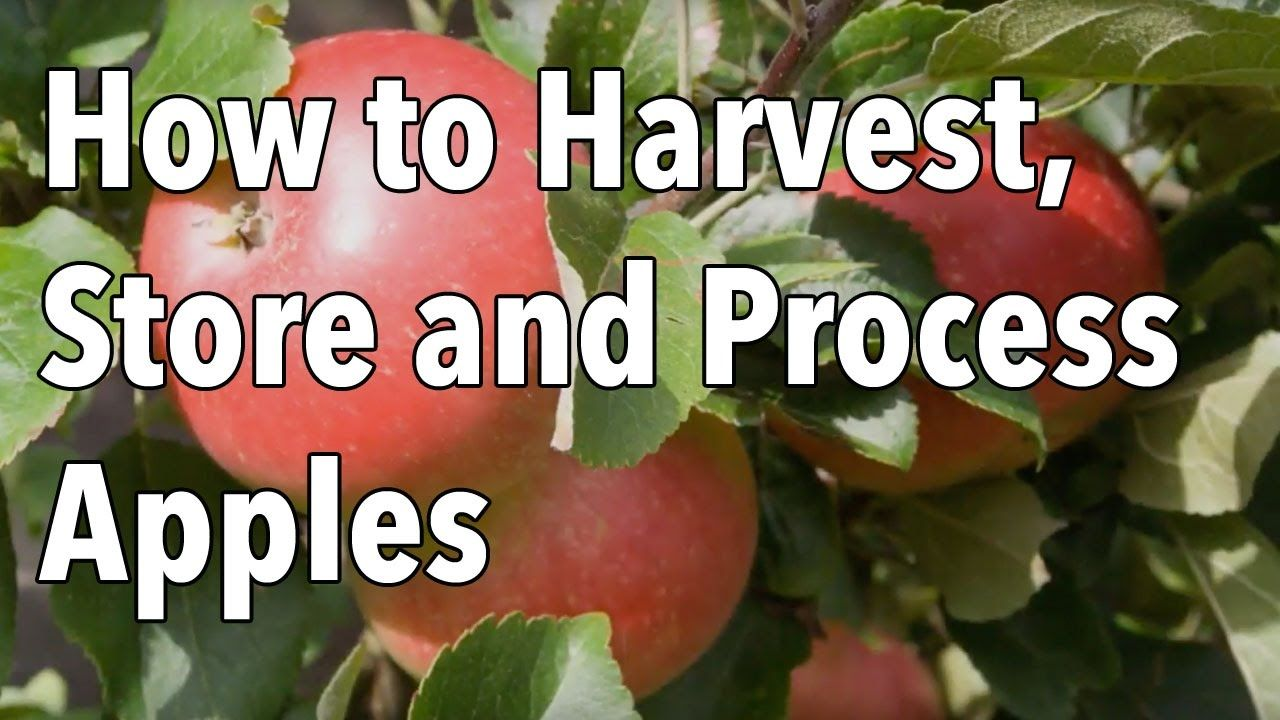 How to Harvest, Store and Process Apples How to store