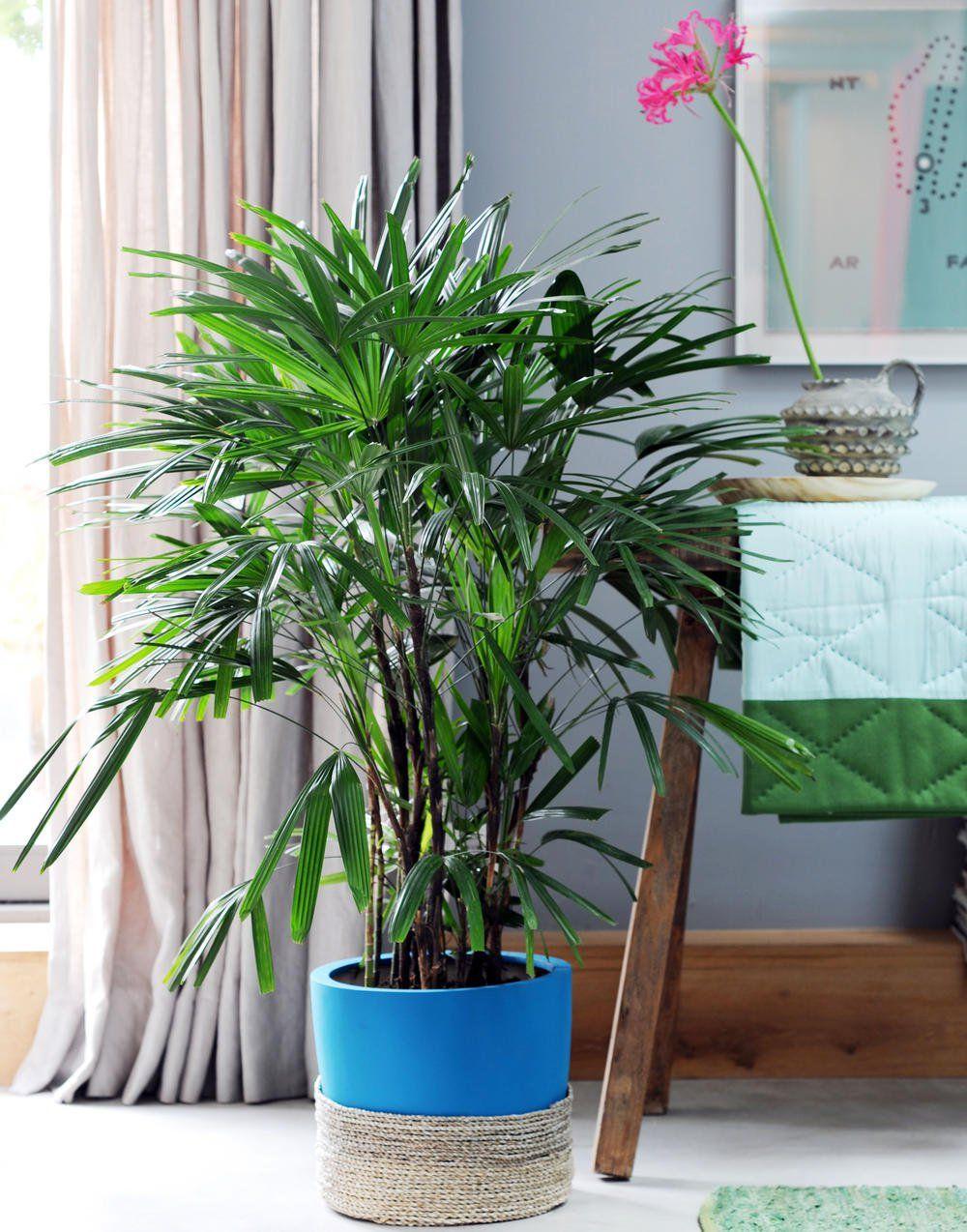 Steckenpalme Pflegeleichte Palme Fur Einsteiger Zimmerpflanzen Pflanzen Luft Reinigen Pflanzen