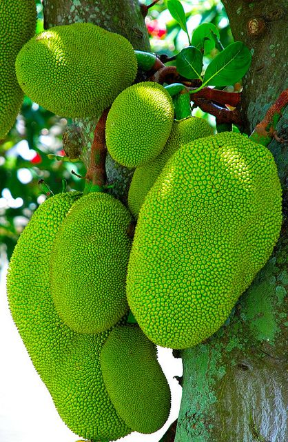 how to grow jackfruit from seed