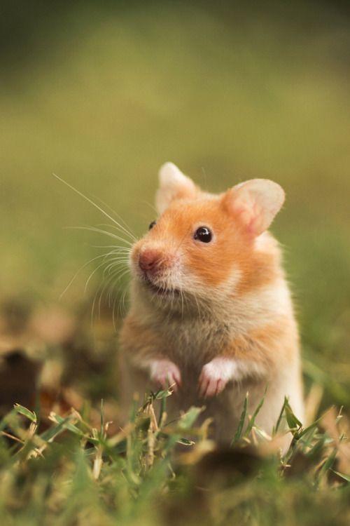 ภเгคк ค๓๏ Cute hamsters, Hamster, Cute animals
