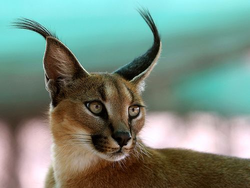 Caracal Cat found in South Africa and India.