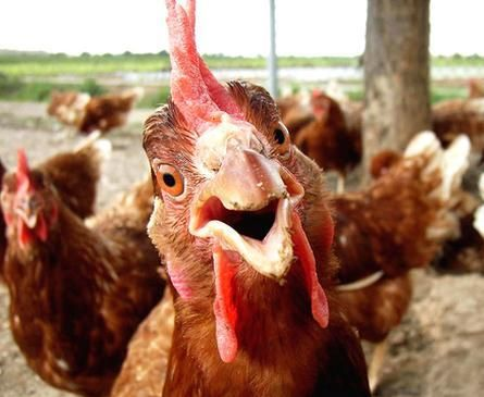 Rooster image Funny chicken picture