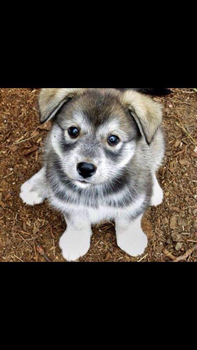 "Husky-pug mix. ""Hug"" I'd give him endless hugs if I could just get my hands on him!"