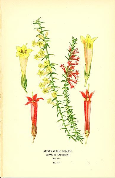 Australian Heath Epacris Impressa Botanical Illustration Vintage Art Prints Botanical Prints