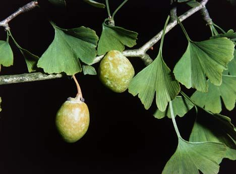 Ginkgo fruit on a female tree is the worst smelling fruit I\'ve ...