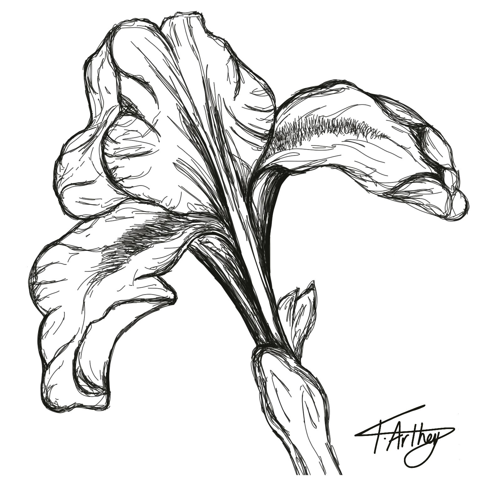 How To Draw An Iris Howstuffworks Flower Line Drawings Iris Drawing Flower Drawing