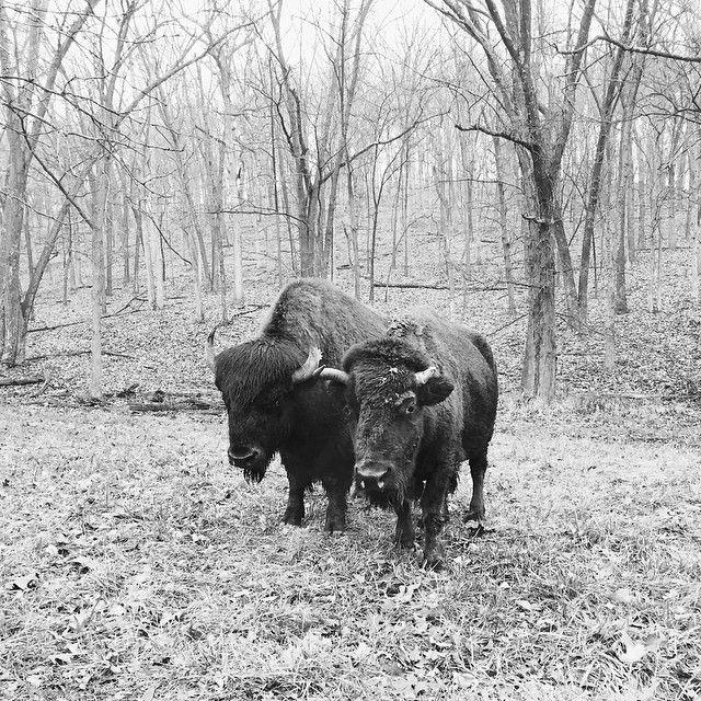 """""""Where the buffalo roam  Image by @jennsilverberg / #VSCOcam B1 jennsilverberg.vsco.co"""""""