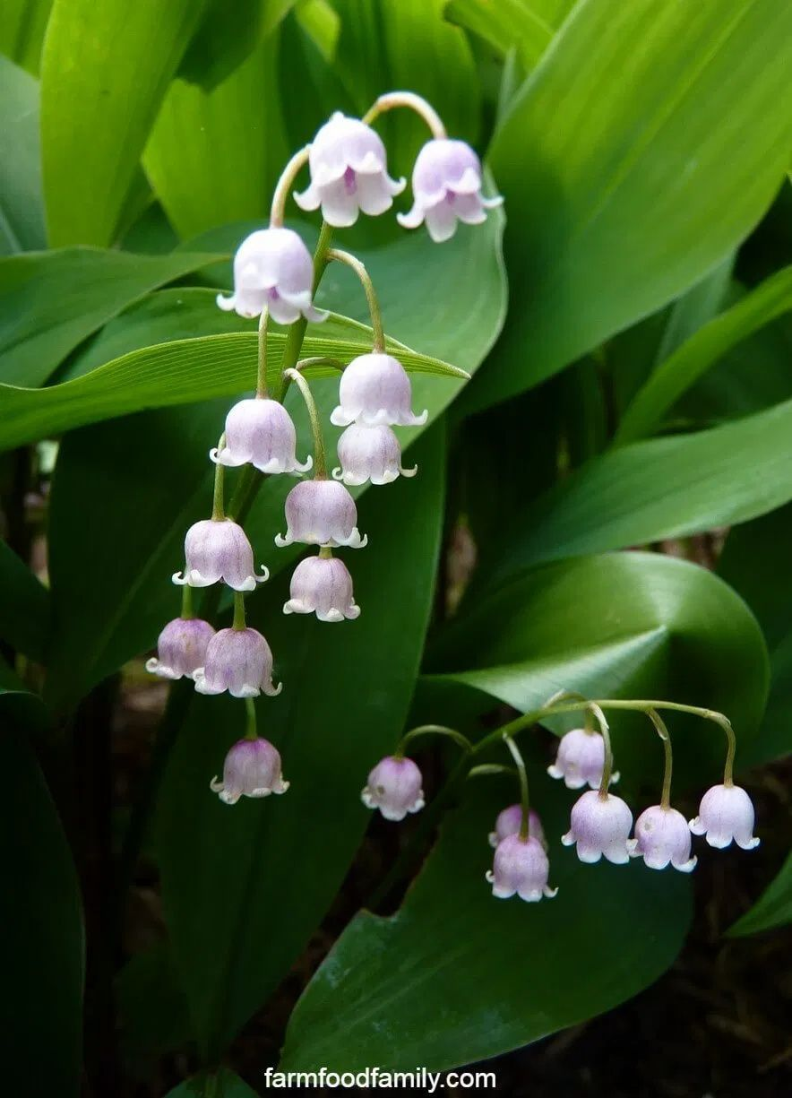 Lily Of The Valley Plant How To Grow Care For Convallaria Majalis In 2020 Lily Of The Valley Flowers Lily Of The Valley Plants