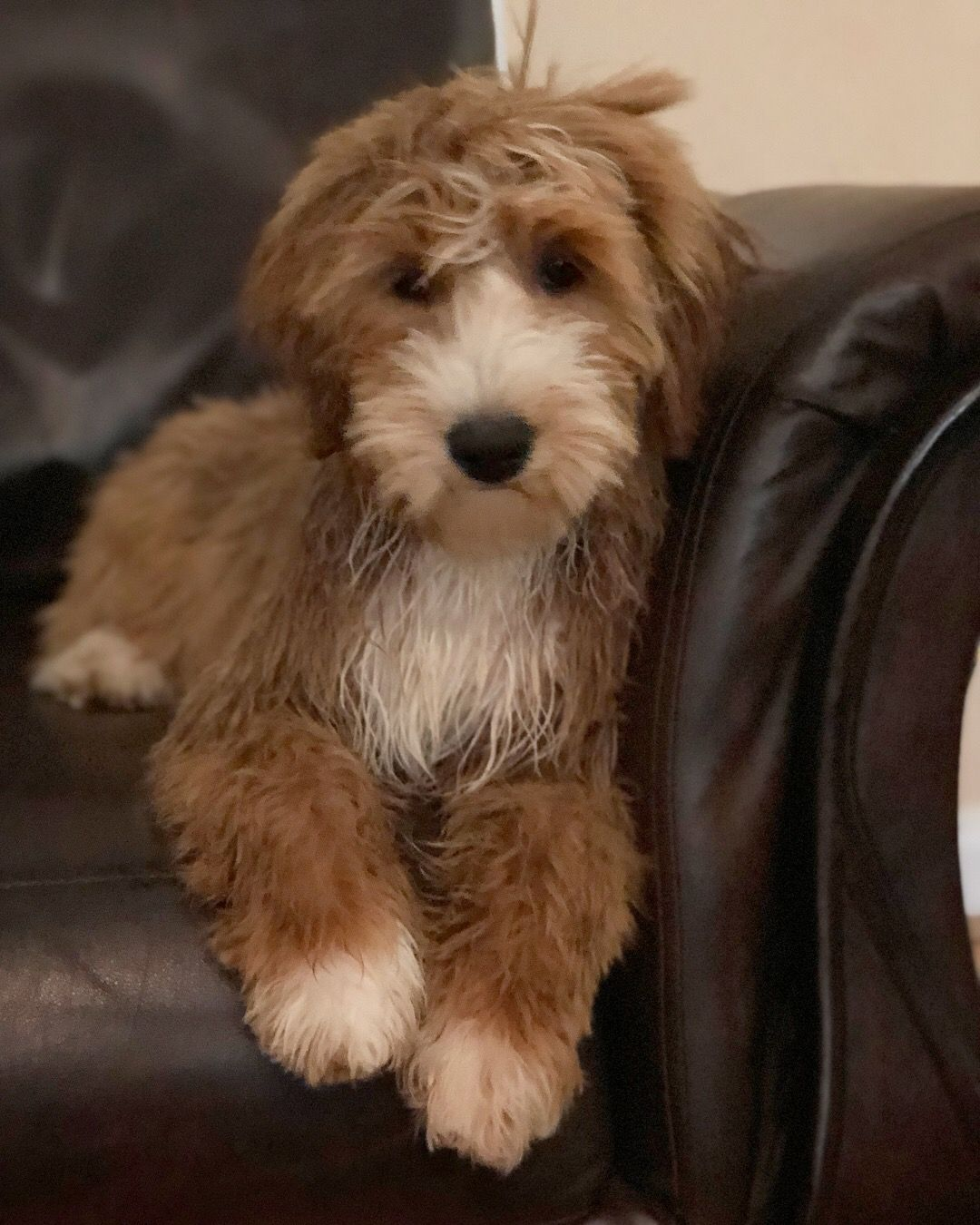 After her bath! Tuxedo Goldendoodle puppy, Candy Doodles