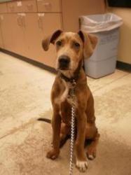 Wisconsin Samson Is An Adoptable Great Dane Weim Blend Dog In