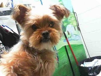 Yorkie, Yorkshire Terrier/Lhasa Apso Mix Dog for adoption ...