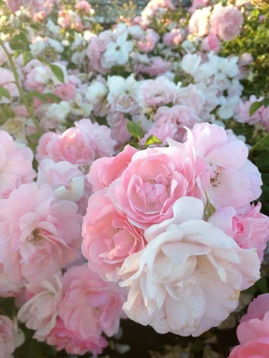 White And Pink Rose Aesthetic