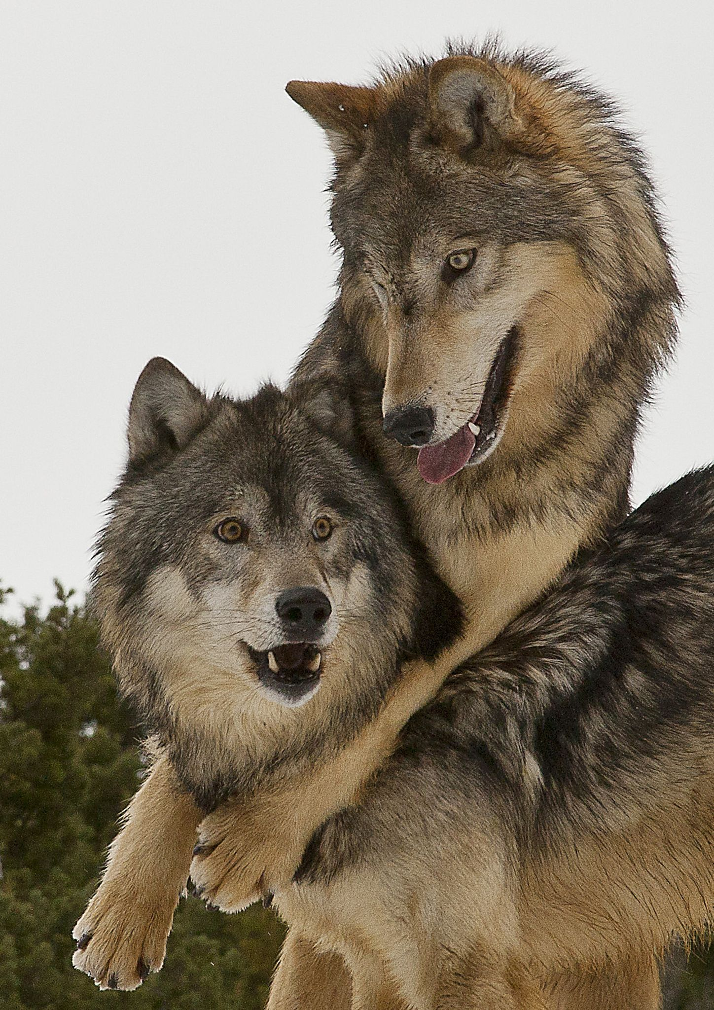 Wolves just good friends Alpha male and female having