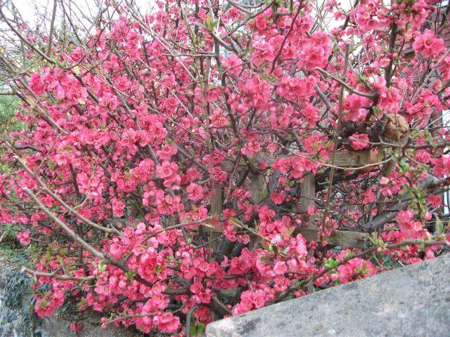 Pink Forsythia
