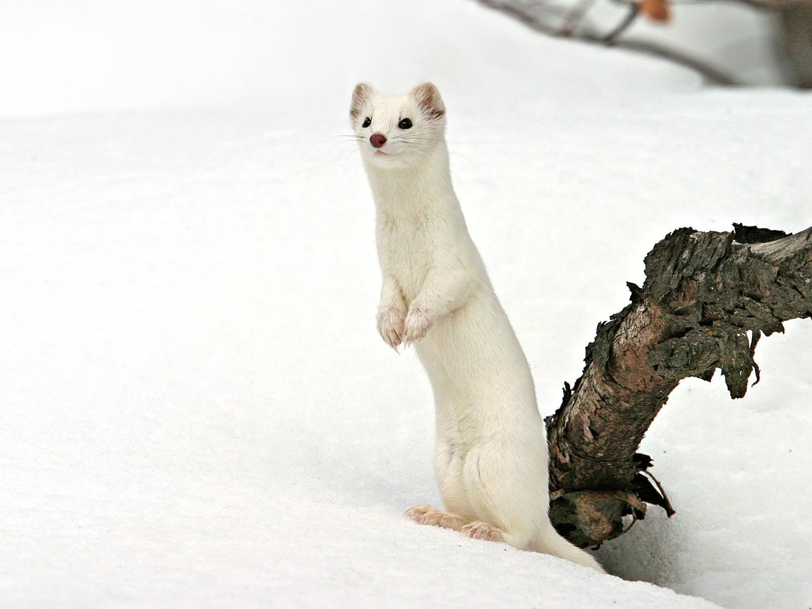 オコジョよりかわいい動物 動物の壁紙 動物 珍しい動物