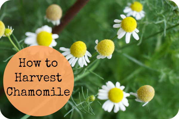 How To Harvest Chamomile And Dry Chamomile Flowers Planting Herbs Chamomile Flowers Herbs