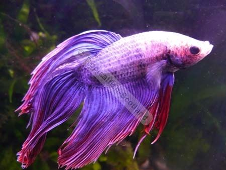 Most beautiful betta fish in the world google search for Purple betta fish