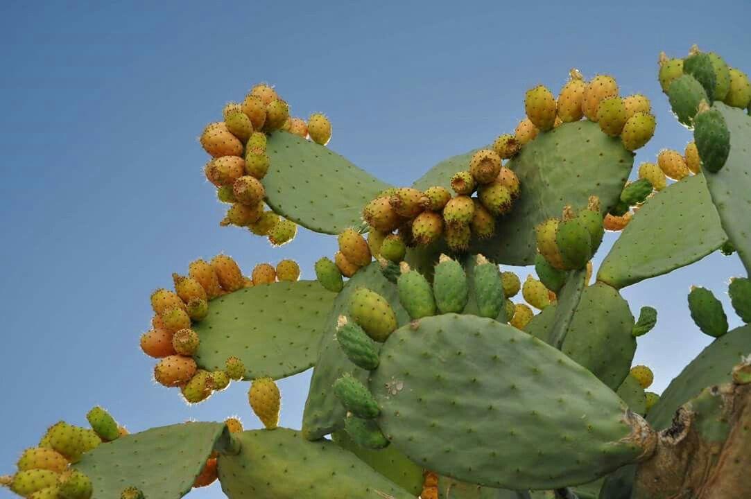 TUNERA VIOLETA Opuntia 15  semillas frutos comestibles