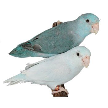 Parrotlet Cute Animals Animals Dogs Puppies