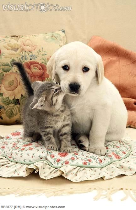 Golden Retriever Puppy And Kitten Baby Animals Cute Animals