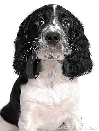 English Springer Spaniel Awww This Reminds Me Of My Pups I Miss Them Ejgroney Photo De Chien Mignon Chiens Et Chiots Toutous
