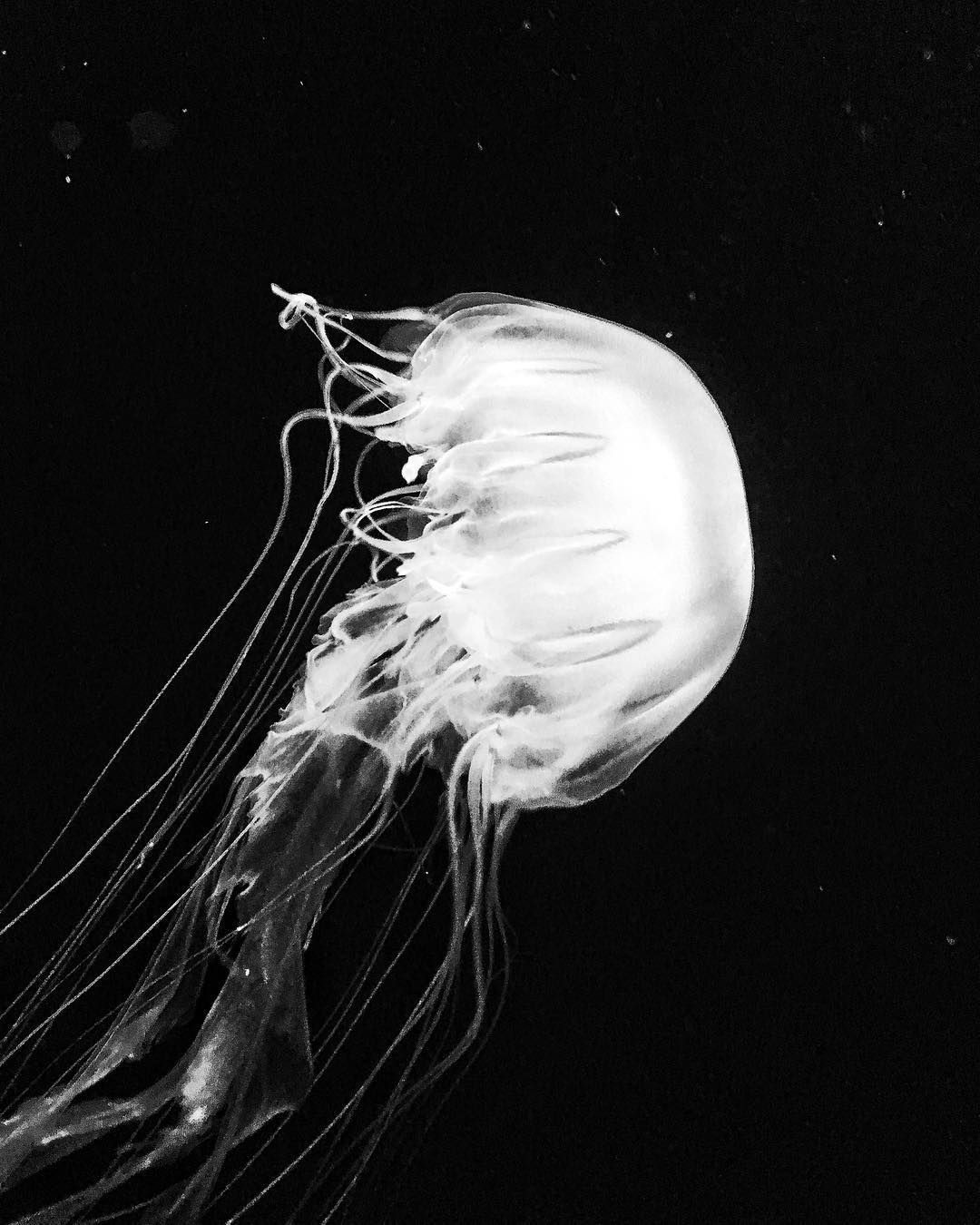 Jelly sanfrancisco aquarium jellyfish black and white photography adamwhittaker com