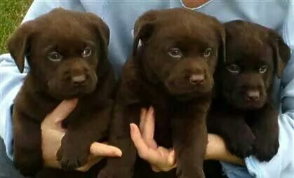 Lucky Labs Wallaceburg Ontario Lab Puppies Chocolate Lab Puppies Labrador Retriever
