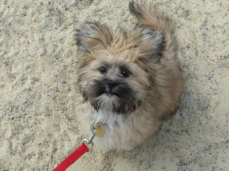 Coco Lhasa Apso Puppy 4 Week Residential Dog Training At