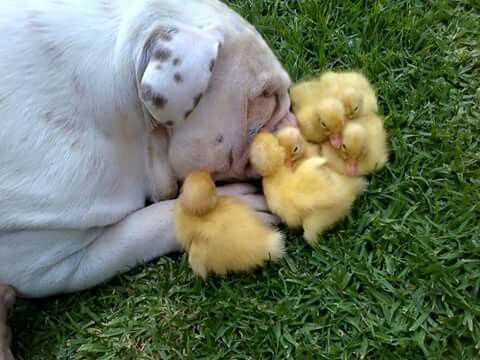 #English #bulldog making the acquaintance of chickens